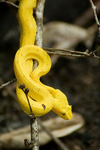 A very poisonous tree snake with a venom that is fatal in less that 5 hours. Cauhita Costa Rica