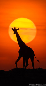Giraffe at sunrise, Etosha National Park