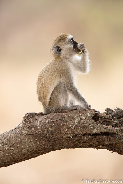 Vervet Monkey in tree, Tarangire National Park