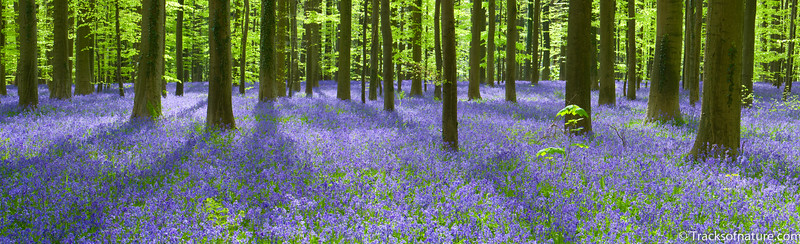 Bluebell carpet, Hallerbos forest, Belgium