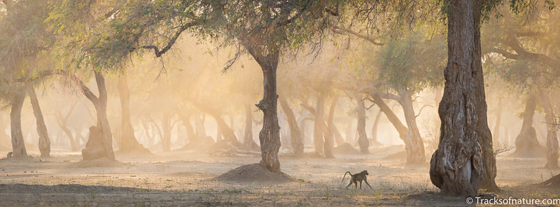 Baboon in Winterthorn forest, Mana Pools National Park