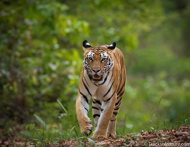 Tiger, Bhandavgarh National Park