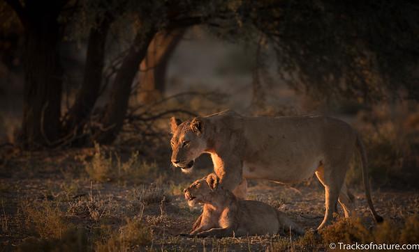 Lioness with cub, Kalahari Desert