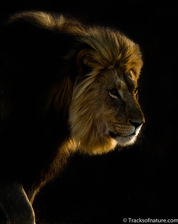 Lion at sunrise, Kalahari Desert