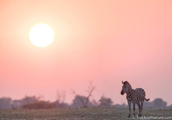 Sunrise zebra, Okavango Delta