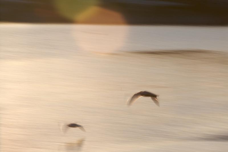 Manchester Harbor Gulls