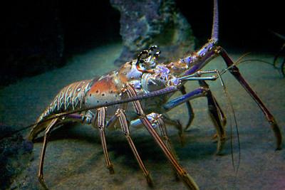 Biggest lobstah ever