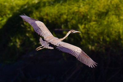 Great Blue Heron,  Hacinda El Viejo Wetlands, Guanacaste Costa Rica