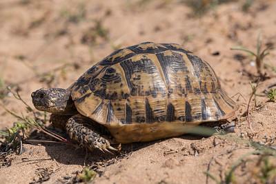 Maurische Landschildkröte (Testudo graeca nabeulensis) in ihrem natürlichen Lebensraum im Südwesten von Sardinien. Ursprünglich stammt diese Unterart aus Tunesien und wurde vor langer Zeit nach Sardinien eingeschleppt.