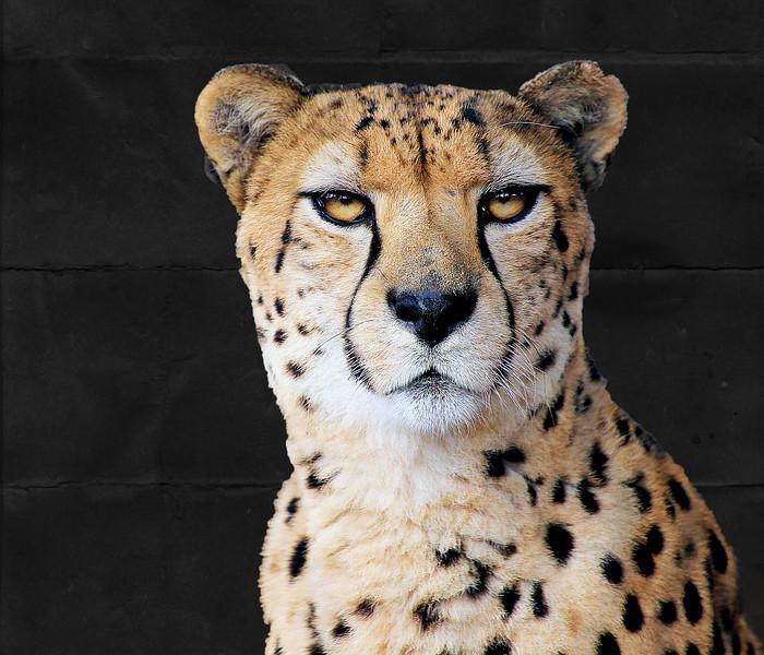 Zoo Animals 12.23.15_Cheetah Merged Layer.jpg