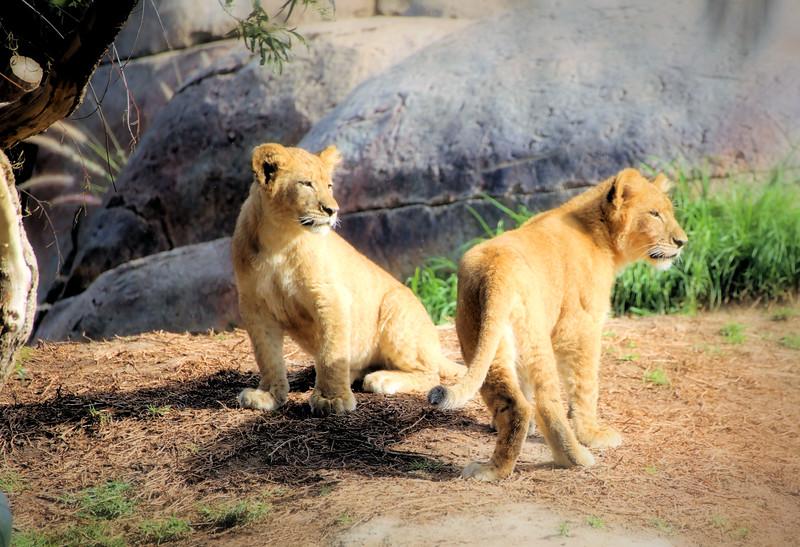 Lion Cubs to Topaz.jpg