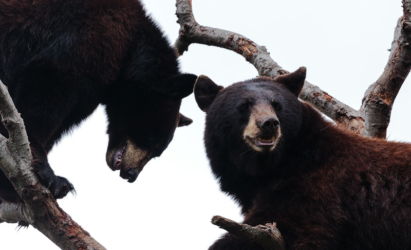 Black Bears in a Tree