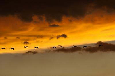Nine geese northbound across the western horizon