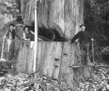 At the turn of the 20th Century, the Nehalem watershed contained millions of trees the size of this one. Loggers from midwestern states and Scandanavian countries moved here to harvest the green gold.
