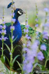 Peacock Incognito
