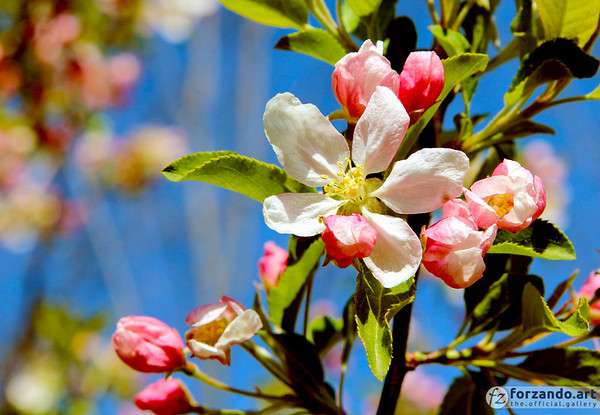 The Apple Blossom, State Flower of Michigan