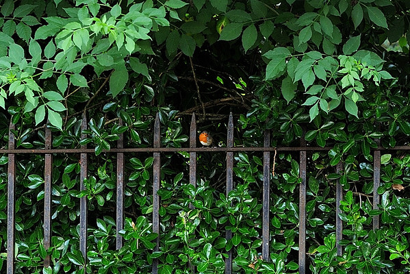 Robin on a fence