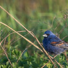 Blue Grosbeak  _D750663