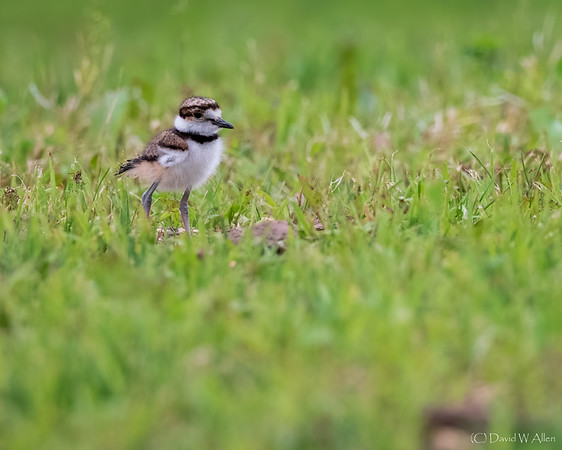 Killdeer Chick  _D853956-Edit
