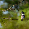 Belted Kingfisher  _D853842