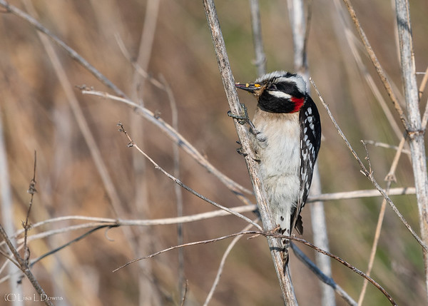 Downy Woodpecker  _D750675