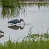 Little Blue Heron and Greater Yellowlegs _D752193-Edit
