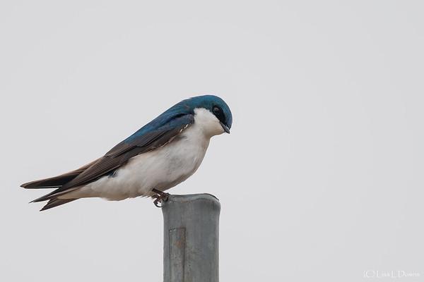 Tree Swallow  _D755500