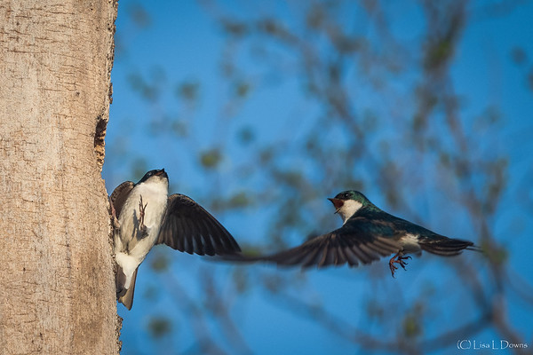Tree Swallows at nest entrance  _D755545