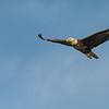 Bald Eagle _D759169