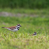 Killdeer and Chick _D754742
