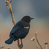 Red Winged Blackbird  Male   _D755504