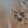 Song Sparrow  _D755710