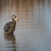 Great Blue Heron  _D755484