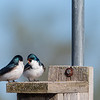 Tree Swallows on nesting box  _D757724