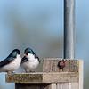 Tree Swallows on nesting box  _D757724