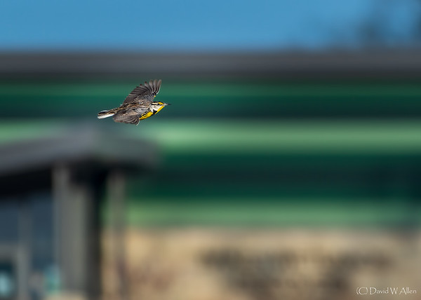 Eastern Meadowlark in flight  _D856335-Edit