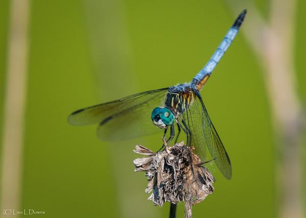 Eastern Pondhawk Dragonfly  Male   _D757728