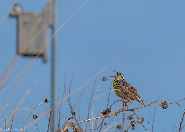 Eastern Meadowlark  _D856392