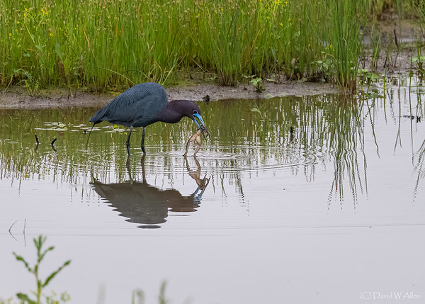 Little Blue Heron with Catch of the Day  _D852806-Edit