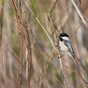 Black Capped Chickadee  _D851128
