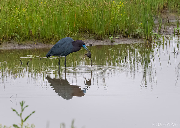 Little Blue Heron with Catch of the Day  _D852801-Edit