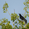 Great Tailed Grackle  _D759757