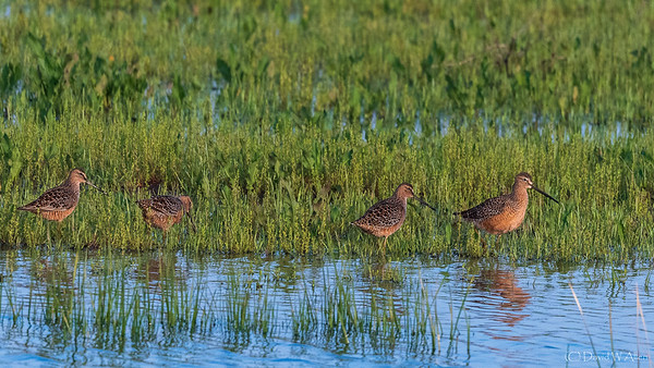 Long-Billed Dowitchers  _D858911