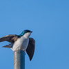 Tree Swallow _D755583