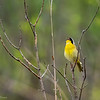 Common Yellowthroat  _D752065-Edit-2