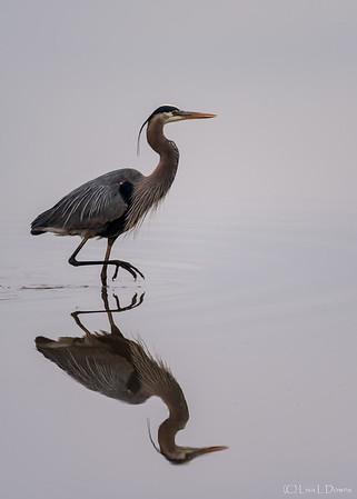 Great Blue Heron  _D757448
