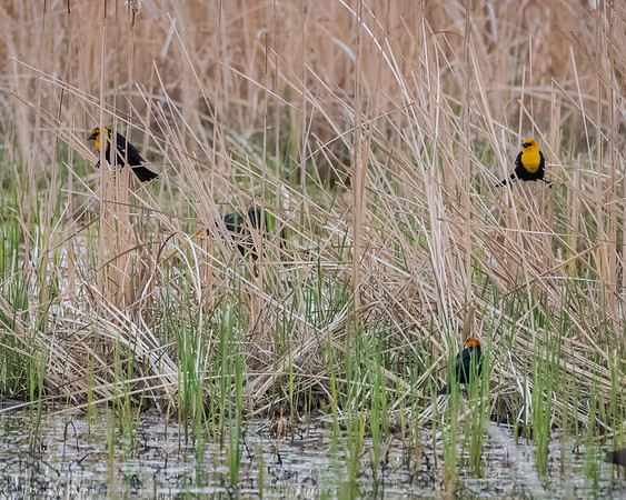 Yellow Headed Blackbirds  _D858287-Edit