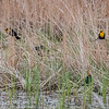 Yellow Headed Blackbirds  _D858287-Edit