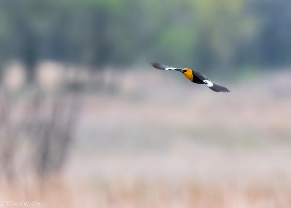 Yellow Headed Blackbird  _D858289-Edit-2