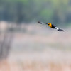 Yellow Headed Blackbird  _D858289-Edit-2